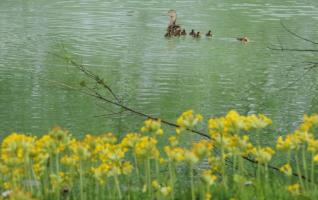 Ducklings 2015