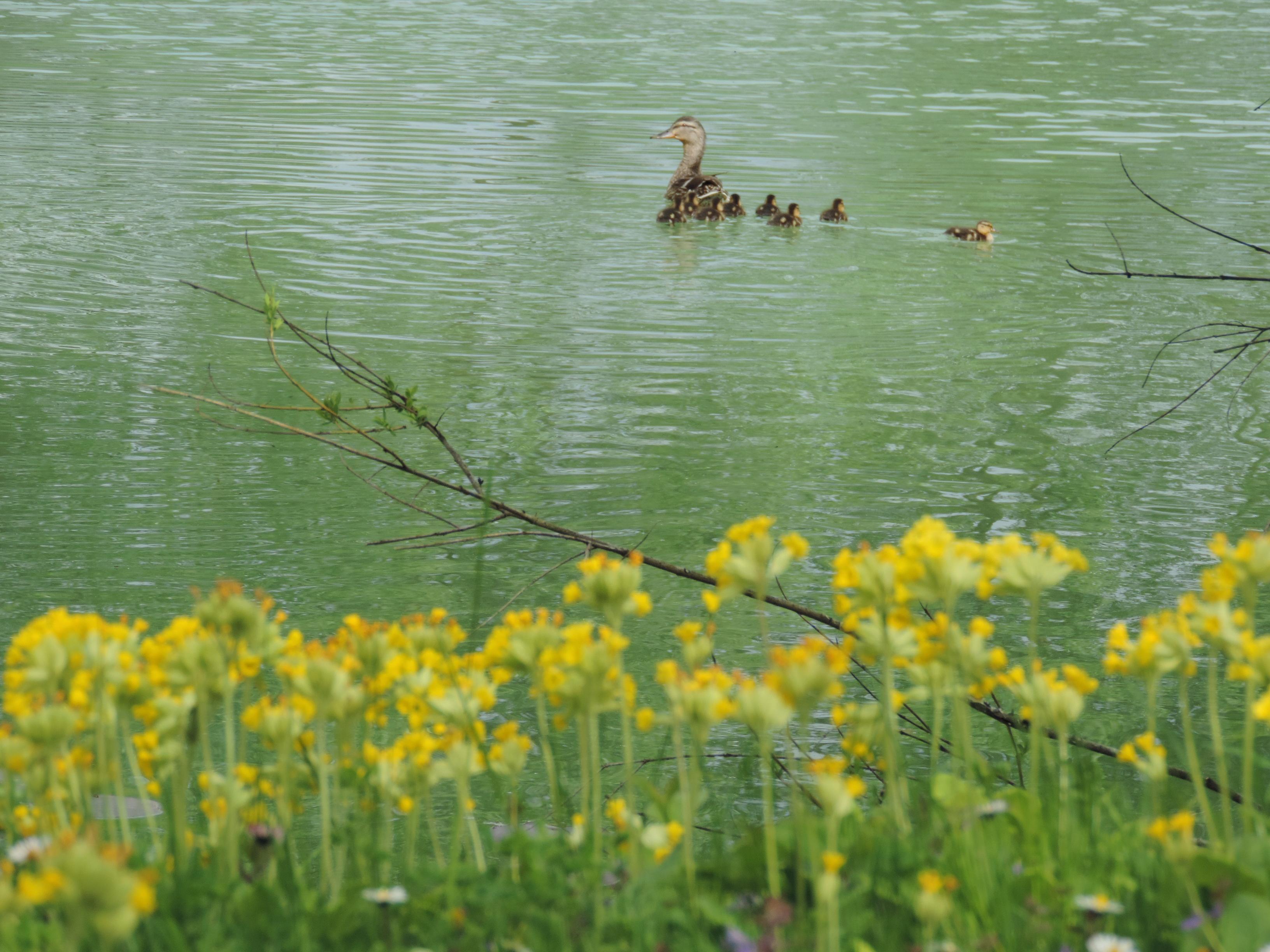 Ducklings 2015